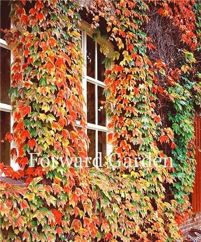 100 pcs// bag 5 colors Green Boston Ivy Seeds Ivy grass Seed For DIY Home /& Garden Outdoor Plants tree Seeds Drop Shipping 1