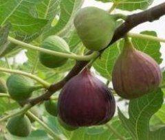 Damit Der Feigenbaum Fruchte Tragt Pflegetipps Fur Die Feige Feigenbaum Feigenbaum Pflanzen Indoor Wassergarten
