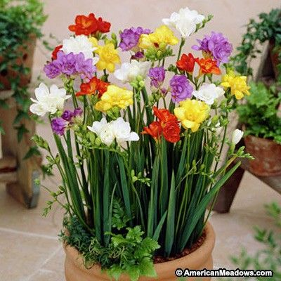 Double Freesia Mix Bulb Flowers Spring Flowering Bulbs Spring Plants