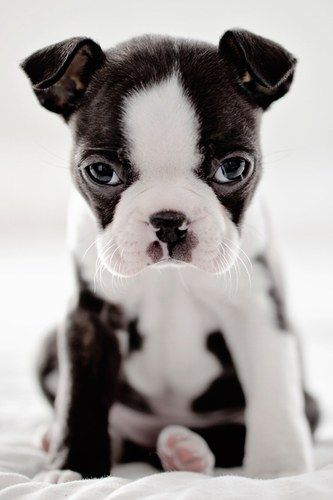 French Bulldog puppy -pretty sure this is a Boston terrier-