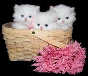 Persian Teacup Kitten For Sale Teacup Kitten Teacup Kittens For Sale Persian Kittens