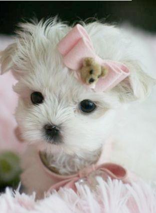 Malteses For Sale Miami Maltese Puppies For Sale Teacup Puppies Maltese Maltese Puppy