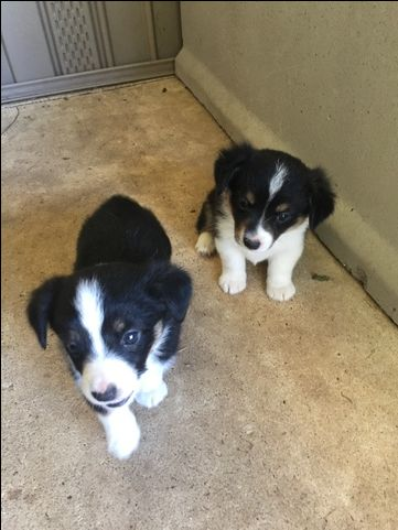 Litter Of 4 Australian Shepherd Pembroke Welsh Corgi Mix Puppies