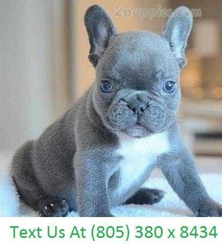 French Bulldog Dogs For Sale In United States California Los