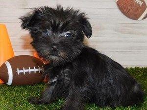 Puppies For Sale At Petland Hoffman Estates Illinois In 2020 Puppies For Sale Food Animals Puppies