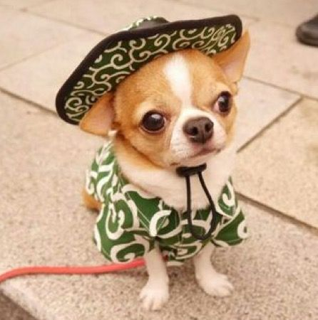 Mexican Chihuahua Chihuahua Puppies Cute Baby Animals Cute