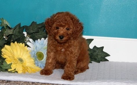 Joyful Looking Toy Poodle Puppy For Sale Adoption From South Australia Adelaide Puppies For Sale Toy Puppies For Sale Poodle Puppies For Sale