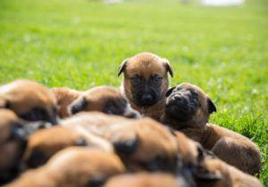 Dogs 101 Belgian Malinois Shepherd Belgian Malinois Malinois
