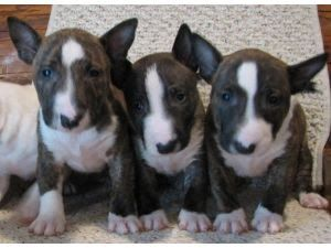 Miniature Bull Terrier Puppies In Oregon Miniature Bull Terrier Puppies And Dogs For Sale In Usa Bull Terrier Puppy Mini Bull Terriers Bull Terrier For Sale
