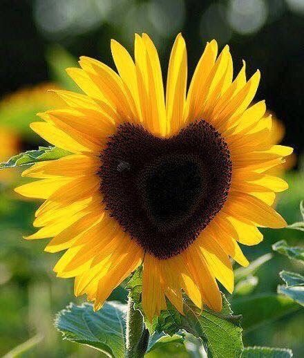 Sunflower In The Shape Of A Heart Sunflower Hearts Sunflower Sunflowers And Daisies