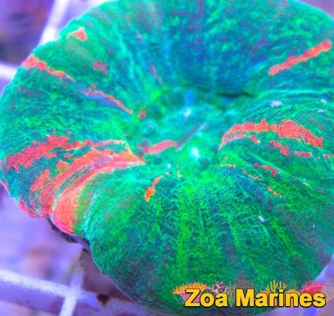 Wysiwyg Bleeding Apple Blue Marked Scolymia 4 Inches No Sc9 Saltwater Tank Marine Tank Saltwater Aquarium