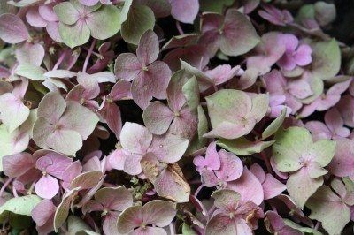 Causes Of Faded Flower Color How To Fix Color Fading In Flowers Hydrangea Not Blooming Hydrangea Colors Bulbous Plants