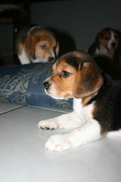 Beagle Friendly And Curious Foxhound Puppy The Fox And The