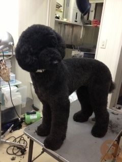 スタンダードプードル スタンダードプードル プードル 犬