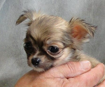 Chi Idols Home Chihuahua Puppies For Sale Chihuahua Lap Dogs