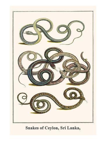 Snakes Of Ceylon Sri Lanka Art Print Albertus Seba Art Com Graphic Art Print Art Print Display Graphic Art