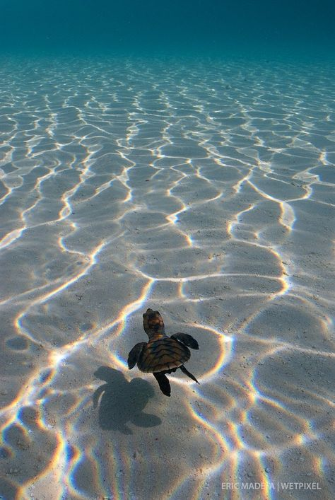 "Eric Madeja - Newly hatched Hawsbill Turtle (*Eretmochelys imbricata*) heading towards the open sea and to what is known as the ""lost years"". Sea Turtle Wallpaper, Ocean Wallpaper, Animal Wallpaper, Baby Animals Pictures, Cute Animal Photos, Cute Baby Turtles, Turtle Baby, Photo Chat, Turtle Love"