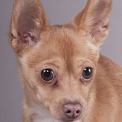 Pictures Of Qbert A Chihuahua For Adoption In Chicago Il Who