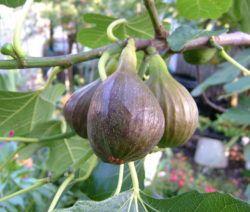 Ampelschirme Gunstig Online Kaufen Bestellen Feigenbaum Feigen Und Garten