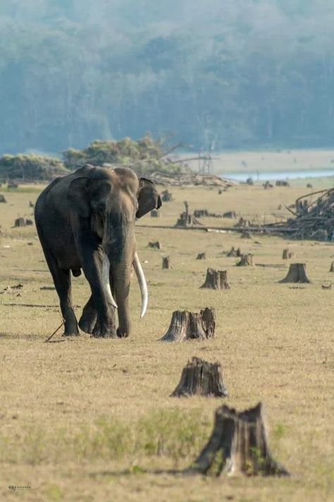 Indian tusker