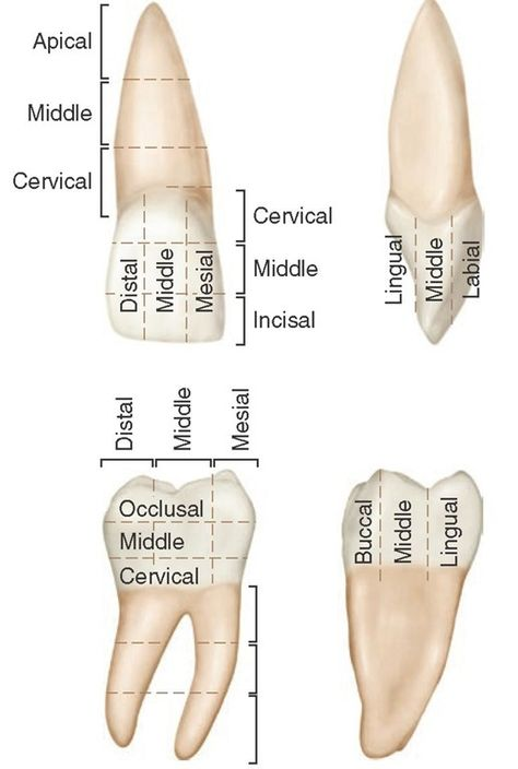 anatomy location terms of teeth Introduction to Dental Anatomy (Dental Anatomy, Physiology and . Dental Assistant Study, Dental Hygiene Student, Dental Humor, Dental Hygienist, Dental Implants, Dental Surgery, Implant Dentistry, Dentist Jokes, Teeth Surgery