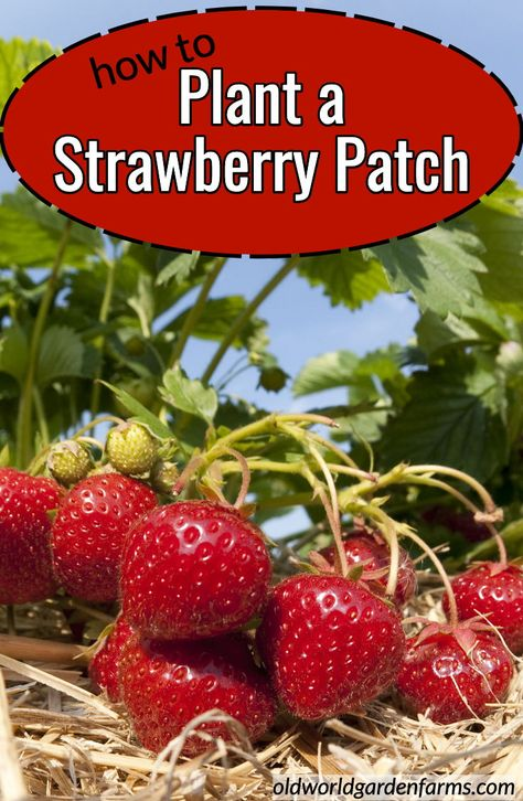 Find out all you need to know about planting a Strawberry Patch in your own backyard or garden strawberries strawberrypatch everlasting Junebearing - Magic Garden, Veg Garden, Fruit Garden, Easy Garden, Garden Beds, Vegetable Gardening, How To Garden, Planting Fruit Trees, Garden Rake
