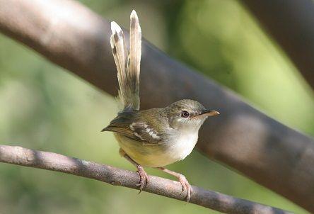 Banyak kicau mania menyukai burung ciblek satu ini. Ciblek Kristal Betina / Jenis Ciblek Kristal : Jenis ...