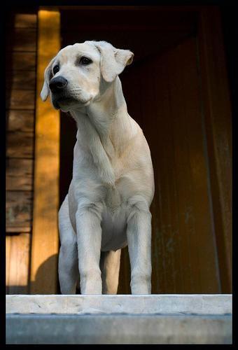 Labrador Ice Cream Get This Now Labradordogbreed