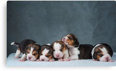 Cute Newborn Beagle Puppies Canvas Print Beagle Puppy Beagle