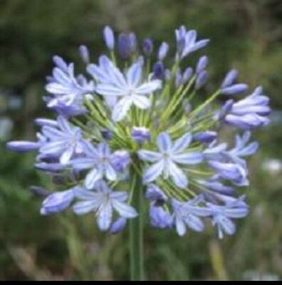 25 Agapanthus Blue Lily Of The Nile Flower Seeds Perennial For Sale Online Ebay Agapanthus Blue Flower Seeds Blue Lily