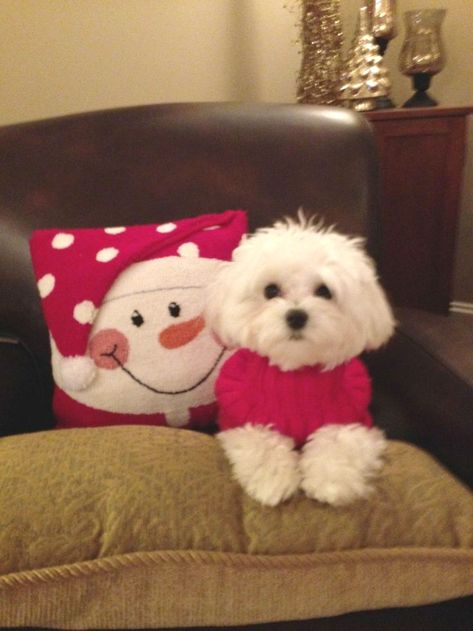 Pin By Kelly T On Maltese Adorable Dogs They Look Like My