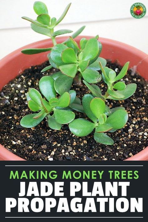 Jade Plant Propagation Is Easy And Fun To Do Learn How To Take Informations Easy Fun Informations Jade L Jade Plants Propagating Plants Money Trees
