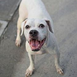Manhattan Ny American Bulldog Meet Gucci A Dog For Adoption American Bulldog Mix Pets Dogs
