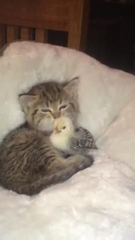 Kitten taking care of this chicken