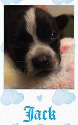 New York Ny Pointer Meet Jack M A Dog For Adoption Dog