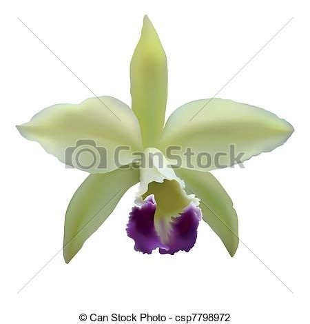 Image Result For Cattleya Orchid Clip Art Orchid Illustration Cattleya Orchid Cattleya