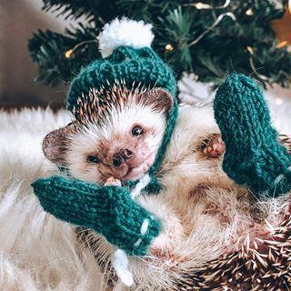 Mr Pokee The Hedgehog Mr Pokee Instagram Photos And Videos Cute Hedgehog Hedgehog Pet Cute Animals