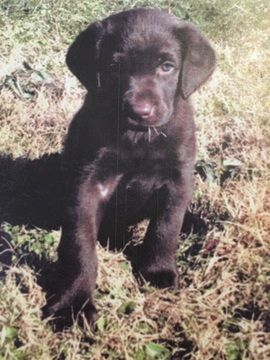 Litter Of 6 Labrador Retriever Puppies For Sale In Fort Deposit