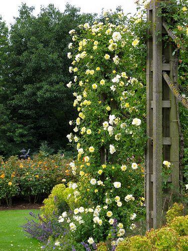 Rosa Leverkusen Climbing Roses Cottage Garden Plants