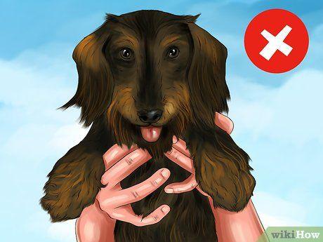Hold A Dachshund Properly Dachshund Dog Steps Weenie Dogs