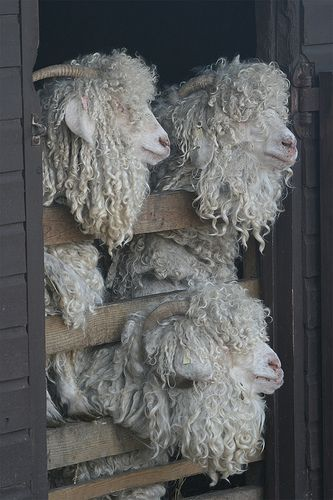 Obviously not sheep, but I totally need some Angora goats on my fiber farm! Even if the idea of shearing these guys make my head hurt. ready for their 6 monthly shearing Cute Baby Animals, Farm Animals, Animals And Pets, Funny Animals, Wild Animals, Alpacas, Wooly Bully, Sheep And Lamb, Sheep Farm