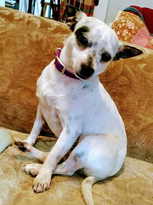 Glastonbury Ct Chihuahua Meet Pinky A Dog For Adoption Pet Adoption Poor Dog Chihuahua
