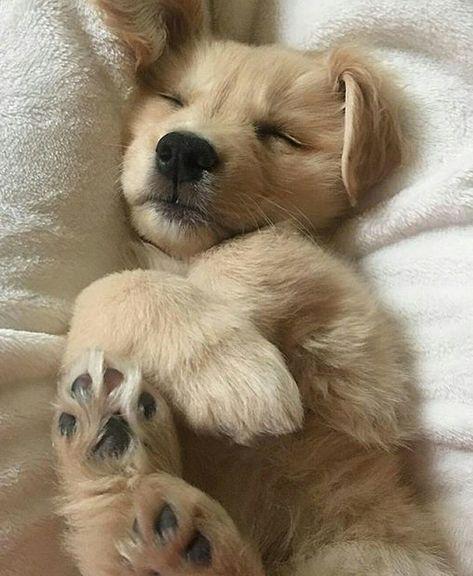 Sweet Golden Retriever puppy #goldenretrieverpuppy #goldenpuppy