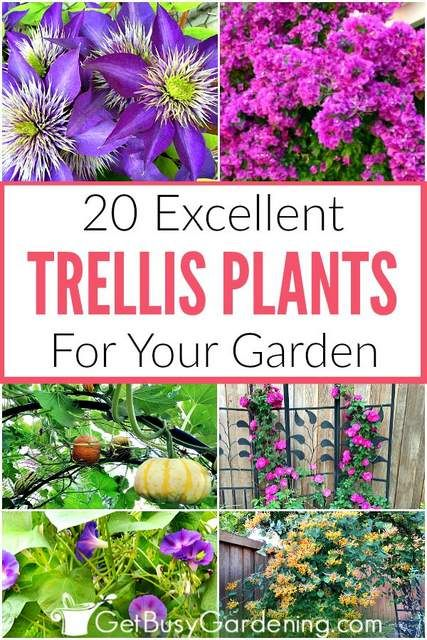 20 Excellent Trellis Plants For Your Garden Climbing Flowering Vines Climbing Plants Trellis Climbing Flowers