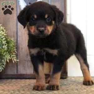 Emerson Rottweiler Puppy For Sale In Pennsylvania In 2020 Rottweiler Puppies For Sale Rottweiler Puppies Rottweiler