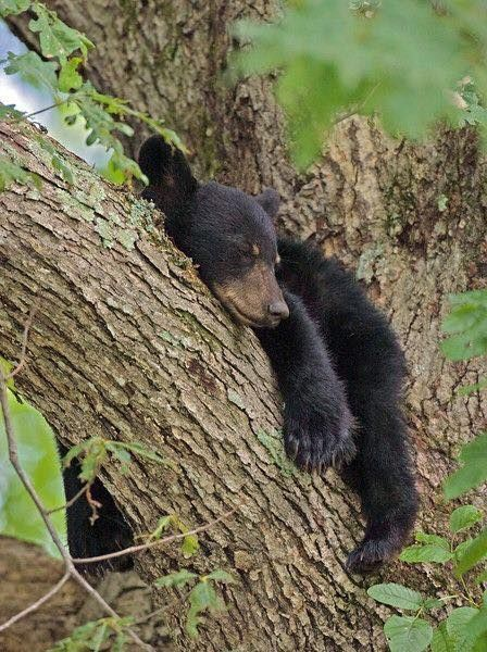 Black bear cub sleeping in a tree in the Smoky Mountains.
