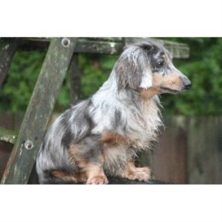 R Darlin Dachshunds Dachshund Breeder In Independence Oregon Photo