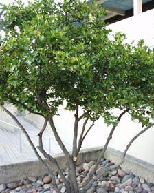 JAPANESE PRIVET   The Japanese Privet Is A Medium Growing Broadleaf Tree.  It Is A Beautiful Evergreen Tree And Likes Regular Water.