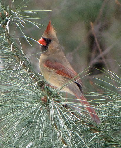 Young Male Or Female Cardinal With Images Cardinal Birds
