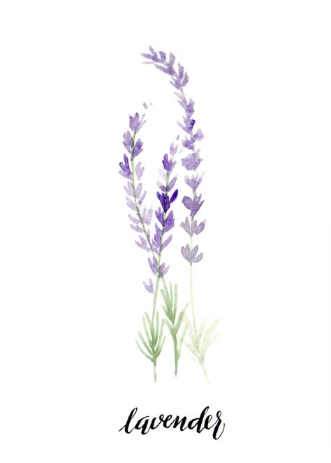 """print of an original watercolor featuring lavender herb and modern calligraphy, 5 x 7""""  this piece is an art quality. giclée print on archival watercolor paper.  frame is not included. ships in flat cardboard with cello sleeve to protect the paper."""